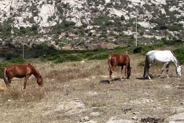 Maltratta il cavallo legandogli le zampe anteriori, denunciato allevatore di San Vero Milis