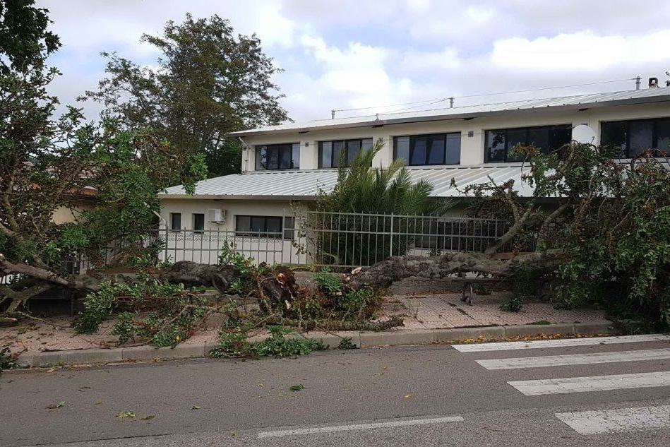 A Mogorella un grosso albero crolla per il forte vento