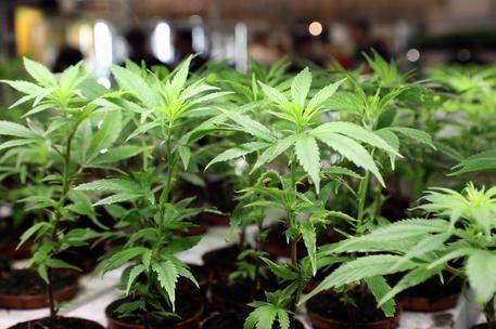 Pacco postale con 12 chili di marijuana scoperto a Olbia