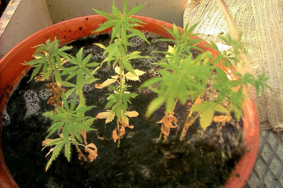 """Primo """"sì"""" alla mini-coltivazione di cannabis a casa"""