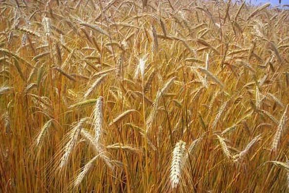 Adesione alla filiera del grano duro, un premio per gli agricoltori sardi