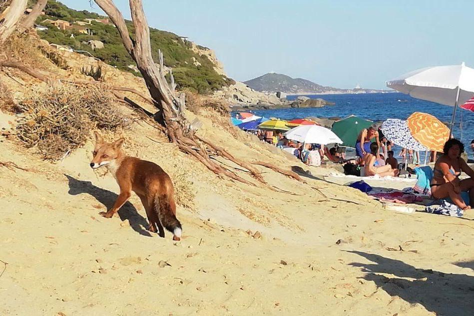 Villasimius, sorpresa in spiaggia: una volpe affamata tra i bagnanti