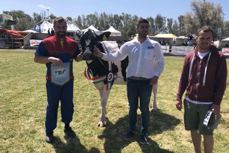 Mostra bovina ad Arborea: la vacca Montana vince il primo premio