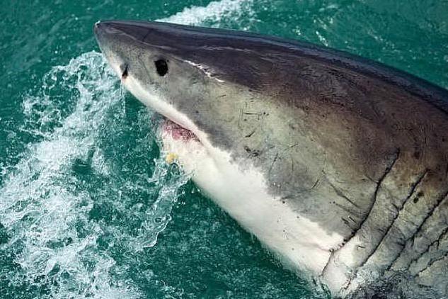 Lo squalo lo assale, lui nuota fino a riva e percorre 300 metri per i soccorsi