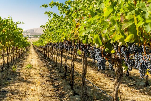 Santu Lussurgiu, CEAS alla scoperta della viticoltura sostenibile