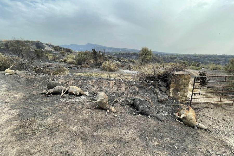 Animali uccisi dal fuoco a Cuglieri (Foto Deidda)