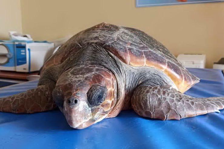 Vittima della plastica: all'Asinara arriva la tartaruga Teresina