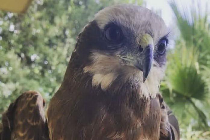Il falco (foto L'Unione Sarda - Sirigu)