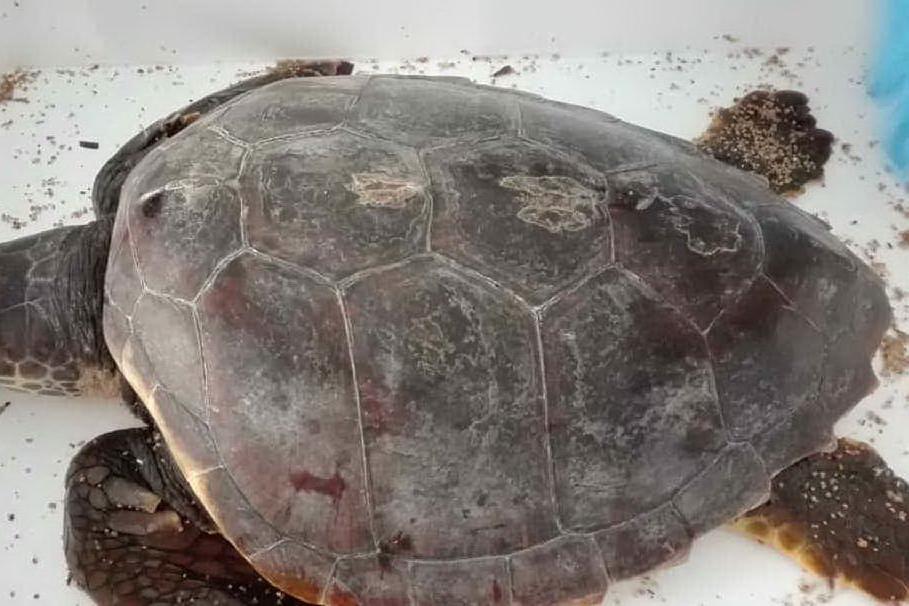 Olbia, recuperata una tartaruga impigliata tra lenze da pesca