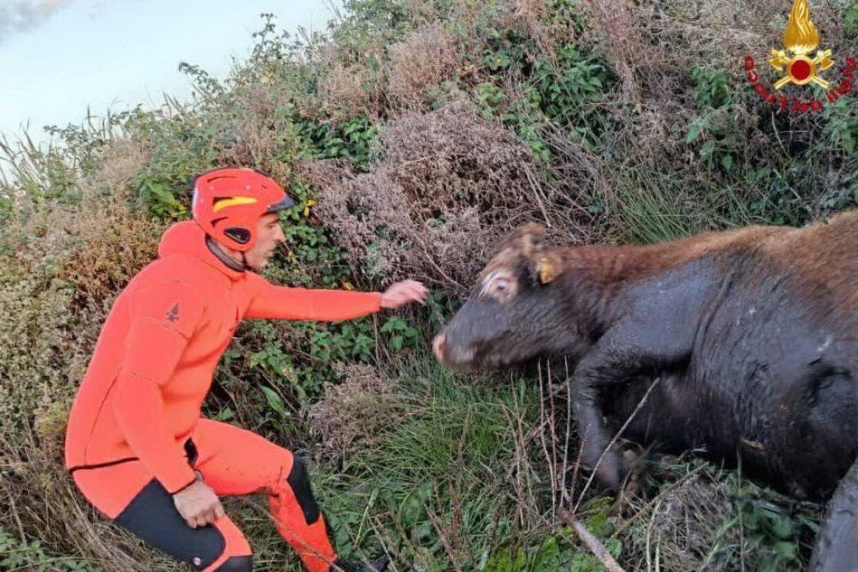 Torralba, mucca intrappolata in una palude: scattano i soccorsi