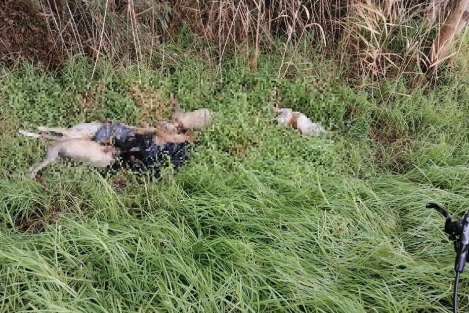 Sei cani avvelenati e gettati a bordo strada: macabra scoperta ad Arborea