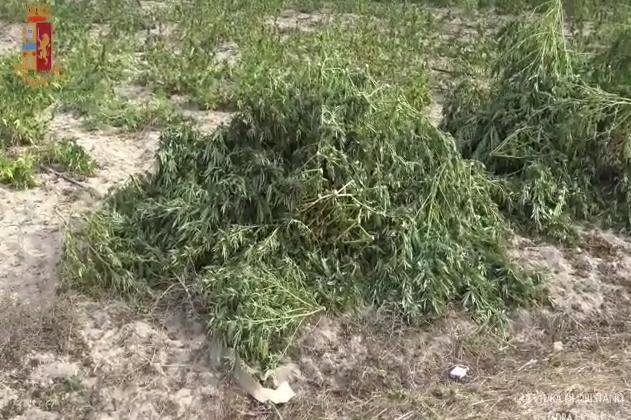 A Oristano 9mila piante di marijuana illegale: 5 persone in manette e350 chili di sostanza sotto sequestro