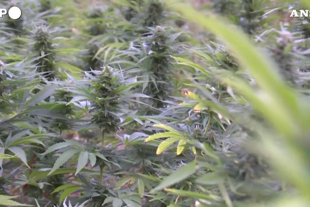 Cannabis legale in Lussemburgo: è la prima volta in Europa