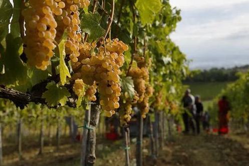 Vendemmia:in Sardegna calo della produzione (-15%), ma uva di ottima qualità