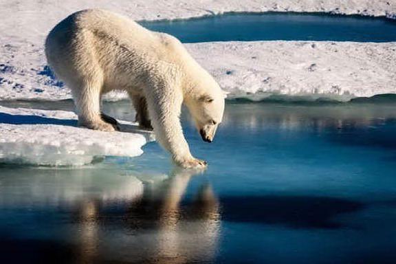 Orsi polari invadono un villaggio in cerca di cibo