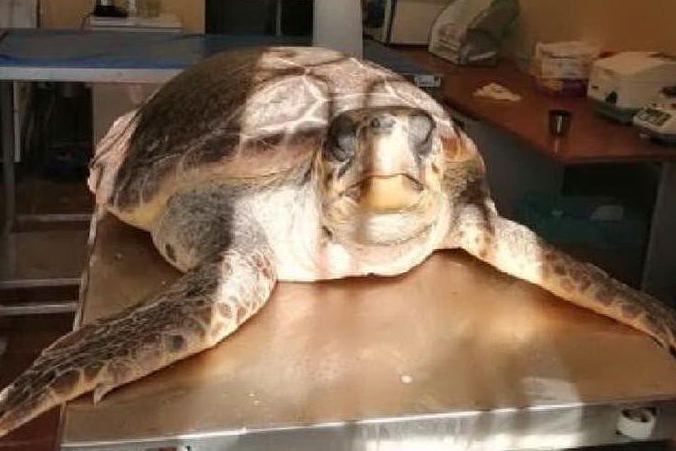 Colpita con una lama: Madeleine, la tartaruga in cura all'Asinara