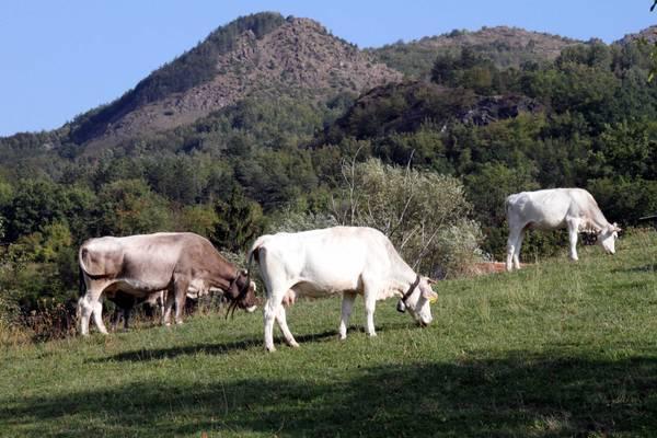 """""""In Sardegna la filiera dei bovini da latte e da carne è al collasso"""""""