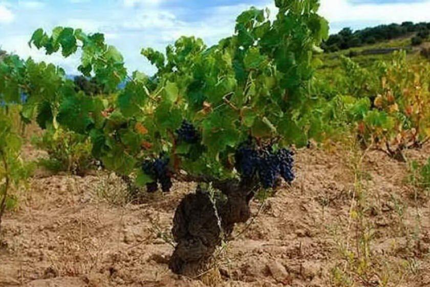 Aiuti al settore vitivinicolo, un milione dalla Regione Sardegna
