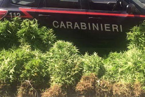 Armi e un quintale di marijuana: maxi-sequestro a Desulo