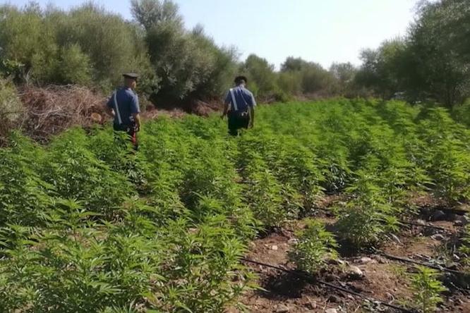 Maxi operazione anti-droga in Sardegna, sequestrate piantagioni in tutte le province