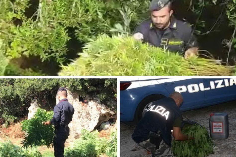 L'Isola delle piantagioni: cannabis, raffica di sequestri