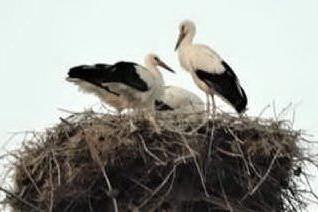"""Coppia di cicogne nidifica sul monte Acuto, nati 4 pulli. Wwf: """"Evento eccezionale"""""""