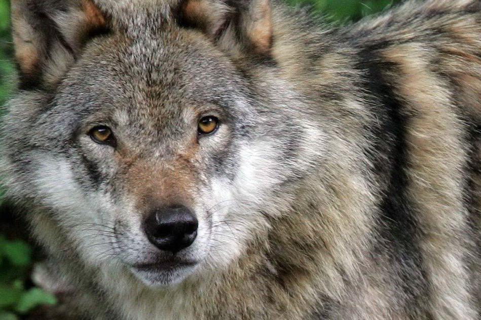 Chi ha paura del cane lupo cecoslovacco?